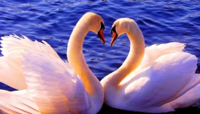 Фотоколлаж Лебеди и звезды к стихотворению Таинство Звёзд