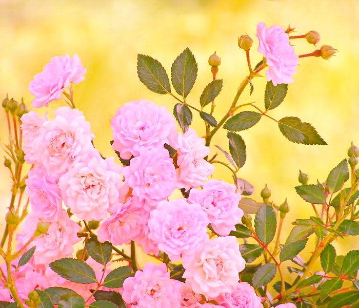 Любимая Свекровь стихи и цветы тебе