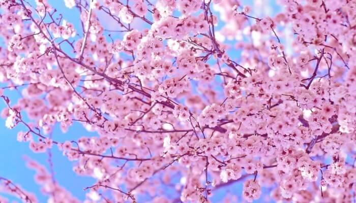 Весна идет! Сакура цветет