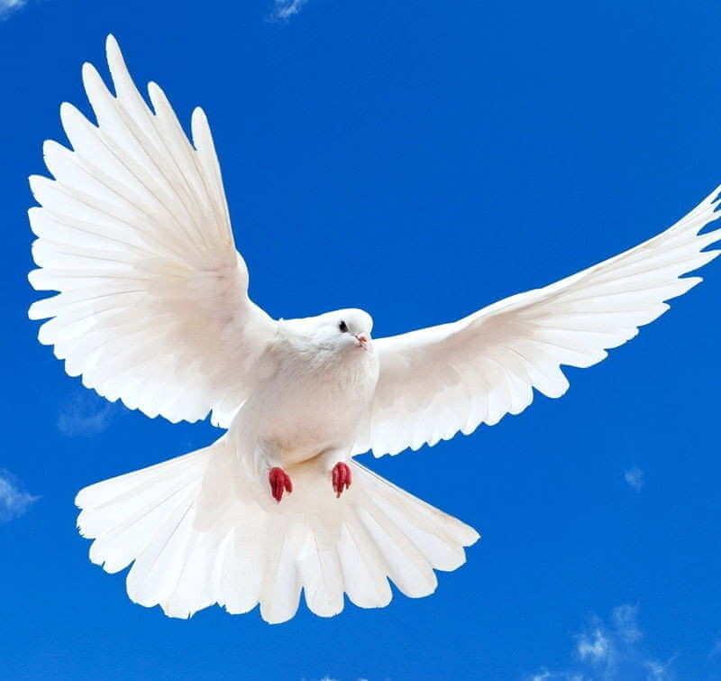 Белый голубь в сиянии света парит