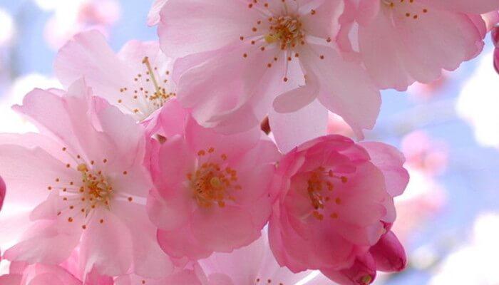 Фото яблоневого цвета - венец Королевы природы Весны